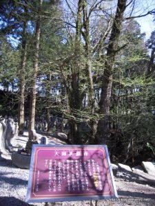 乳銀杏の木