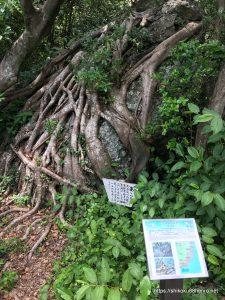 室戸岬のあこうの木